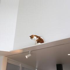 建築/住まい/建築デザイン/猫と住む家/猫と暮らす家 6匹中一番のお姉さんです。 キャットウォ…