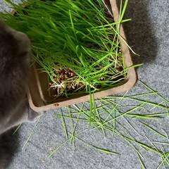 にゃんこ/猫 買ったばかりの、にゃんこ草を食べずに抜い…(1枚目)