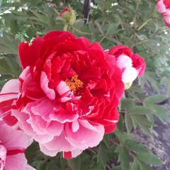 わたしのGW 私の近所、桐生市川内町の宝徳寺❗ボタン祭…
