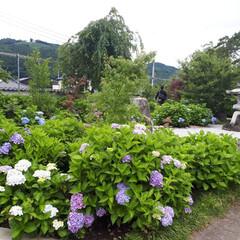 風景 本日は、みどり市の松源寺に紫陽花を見て来…