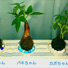苔玉/植物、グリーン