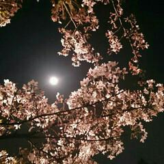 桜/満月 満月と夜桜