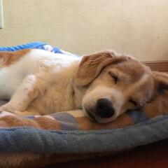 ペット/ビーグル/コーギー/MIX犬 6月で18才になる おじいちゃんワンコで…