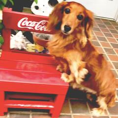あけおめ/フォロー大歓迎/おうち/ペット/犬/わんこ同好会/... 実家にて。 momoさんがちょこんと前足…