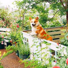 笑顔/ガーデンフェンス/手作りフェンス/ローズ/ナチュラルガーデン/ガーデニング/... 去年のお庭から(^∇^) バラと笑顔のコ…