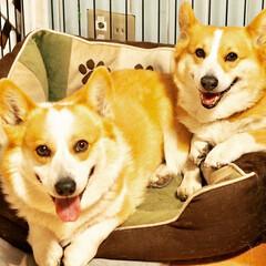 コーギー/フォロー大歓迎/ペット/犬/わんこ同好会/住まい 親子で笑顔(๑˃̵ᴗ˂̵)