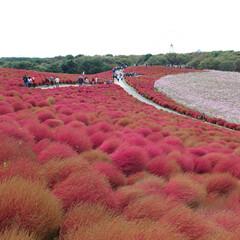 公園/紅葉/秋/風景/おでかけ ひたち海浜公園みはらしの丘の風景。コキア…