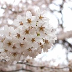 ソメイヨシノ/桜/お花見/平成最後の一枚/春/おでかけ/... 平成最後のお花見???笑。曇り空でしたが…
