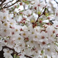 春色アクセサリー/腕時計/ダニエルウェリントン/新生活/雑貨/おでかけ/... 昨日までの気候が打って変わり、関東は雪が…(3枚目)