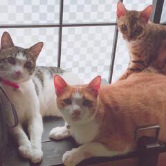 ニャンズ/可愛い/癒し/レア/ペット/猫 我が家のニャンズ♥️  手前2匹は仲良く…