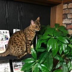 いたずら/壁紙屋本舗さん/フェイクグリーン/ペット/猫 にゃんこを飼っている方なら分かると思いま…