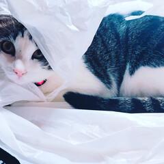 ビニール/可愛い/癒し/猫 大好きなビニールに入ってご満悦♥️