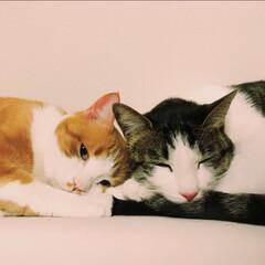 癒し/仲良し/猫 我が家の癒しの癒しショットです♥️