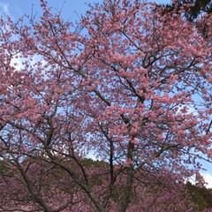 満開の桜/満開/トンネルの先/桜の名所/廃線50周年/桜❀.*・゚✿゜:。*/... 桜の名所へ行って来ました   廃線50周…(10枚目)