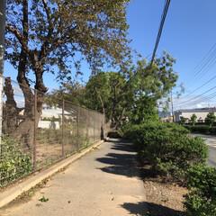 大木/停電は復旧しました/こわいね/台風被害/倒木 ある駐車場からの写真です   大木が折れ…