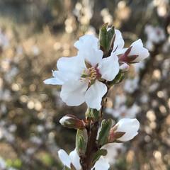 桜によくにた花/桜じゃないよ/散歩/LIMIAおでかけ部/風景/春の一枚