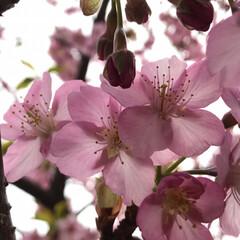 河津桜/LIMIAおでかけ部/おでかけ/風景/おでかけワンショット 久しぶりに家族で公園へ行って来ました。 …