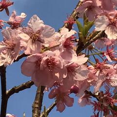 散歩/小さい春見ぃつけた/河津桜/LIMIAおでかけ部/おでかけ/風景/... 河津桜