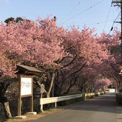 河津桜/LIMIAおでかけ部/おでかけ/風景/小さい春