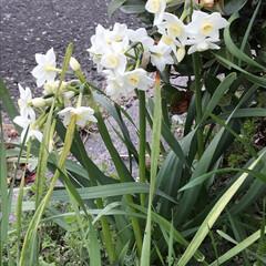 小さい春見ぃつけた/散歩/水仙/LIMIAおでかけ部/おでかけ/風景/... 子供達と散歩中   水仙が咲いていました…
