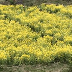 菜の花/菜の花畑/LIMIAおでかけ部/おでかけ/風景/小さい春 病院帰りに立ち寄り   道路から見えたの…