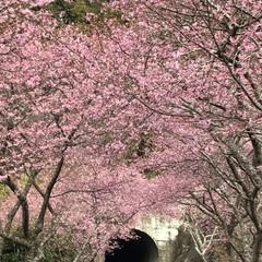 廃線50周年/田口線跡/トンネル/小さい春見ぃつけた/河津桜/LIMIAおでかけ部/... 小さい春見ぃつけたのコンテストに参加しま…