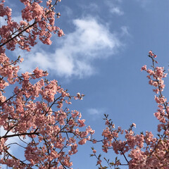 空/河津桜/LIMIAおでかけ部/おでかけ/風景/小さい春