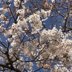 桜/風景/春の一枚 今朝の桜   今日 1日頑張りますよ フ…