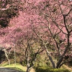 満開の桜/満開/トンネルの先/桜の名所/廃線50周年/桜❀.*・゚✿゜:。*/... 桜の名所へ行って来ました   廃線50周…(6枚目)