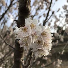 桜/散歩/LIMIAおでかけ部/おでかけ/風景/小さい春