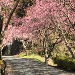 満開の桜/満開/トンネルの先/桜の名所/廃線50周年/桜❀.*・゚✿゜:。*/... 桜の名所へ行って来ました   廃線50周…(8枚目)