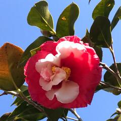 青空/ツバキ/椿/LIMIAおでかけ部/風景/小さい春見ぃつけた 同じ木なのに赤が強かったり白が強かったり…