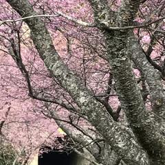 小さい春見ぃつけた/廃線50周年/田口線跡/トンネル/河津桜/再投稿/... 小さい春見ぃつけたのコンテストに参加しま…