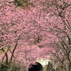 満開の桜/満開/トンネルの先/桜の名所/廃線50周年/桜❀.*・゚✿゜:。*/... 桜の名所へ行って来ました   廃線50周…(3枚目)