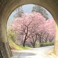 再投稿/河津桜/トンネル/田口線跡/廃線50周年/小さい春見ぃつけた/... 再投稿です   小さい春見ぃつけたのコン…