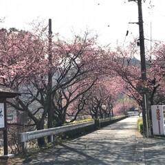 満開の桜/満開/トンネルの先/桜の名所/廃線50周年/桜❀.*・゚✿゜:。*/... 桜の名所へ行って来ました   廃線50周…(7枚目)