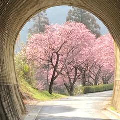 満開の桜/満開/トンネルの先/桜の名所/廃線50周年/桜❀.*・゚✿゜:。*/... 桜の名所へ行って来ました   廃線50周…(4枚目)