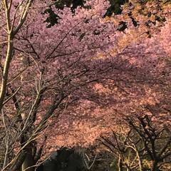 小さい春見ぃつけた/夕方の景色/河津桜/桜/LIMIAおでかけ部/おでかけ/... 夕日に照らされた桜🌸