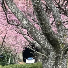 満開の桜/満開/トンネルの先/桜の名所/廃線50周年/桜❀.*・゚✿゜:。*/... 桜の名所へ行って来ました   廃線50周…