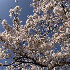 桜/春のフォト投稿キャンペーン/風景 今日の桜   満開です    今日も1日…