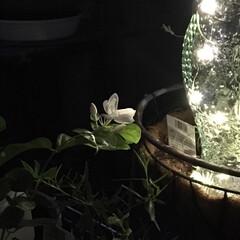 ジャスミン/ベランダガーデニング/ガーデニング/夜/香り/花 ジャスミン咲いた 清楚に白いたったの一輪…