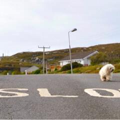 道/スコットランド/犬/ペット/おでかけ Slow. まあ、ゆっくり行きましょう。…