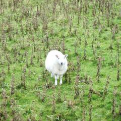 スコットランド/旅の思い出/ひつじ/羊/おでかけ 羊までもが暇そうな顔をしているバラ島。人…