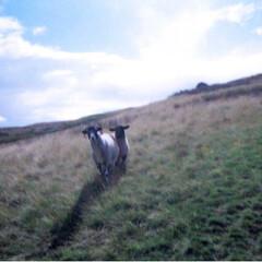 旅の思い出/おでかけ/旅行/ヒース/ヨークシャー/羊/... 15年前の夏の思い出。ブロンテ姉妹が暮ら…