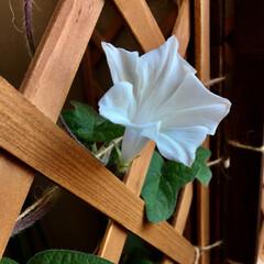 夏インテリア/インテリア/DIY/100均/セリア/ダイソー/... 今年初めての朝顔が咲きました。ゆき姫とい…
