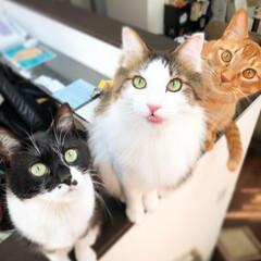 ねことの暮らし/3匹の猫/元保護猫/猫がいる暮らし/うちの子自慢/LIMIAペット同好会/... 猫草待ちっ(*^^*) 床からじゃなくて…