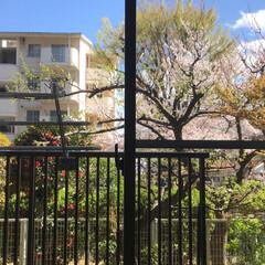 桜/風景 リビングの窓から見える桜。 満開を迎えて…