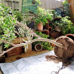 植え替え/ガーデニング/庭/マンション暮らし/ベランダガーデン/オリーブ/...  「この春はやるぞぉ~!」 と、意気込ん…