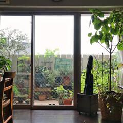 庭/リビングダイニング/マンション暮らし/ガーデニング/ベランダガーデン/夏インテリア/... 和室からの眺めです。  我が家のベランダ…