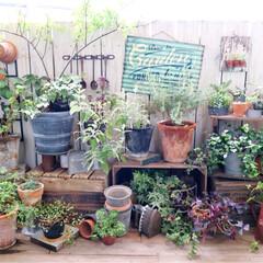 ガーデン/ガーデニング/ナチュラルガーデン/キャベツボックス/みどりの雑貨屋/バルコニー/... 夏の庭は すぐに乱れます💦  蝉の大合唱…
